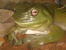 Oldest Frog Bertha Boffa Belly