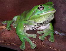 Oldest frog Reptile party