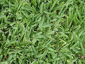 Saint-Augustine-Sod-Grass-Virginia.jpg