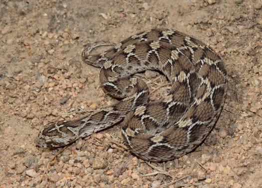 Saw-scaled Viper (Photo by Vivek Sharma)