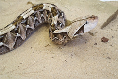 Gaboon Viper (Photo by Paul Rowley)