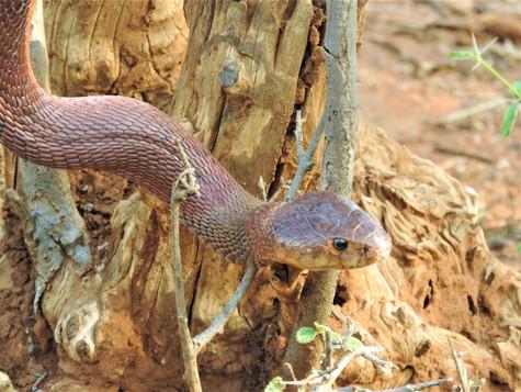 Red Spitting Cobra (Photo by Rodah Syombua)