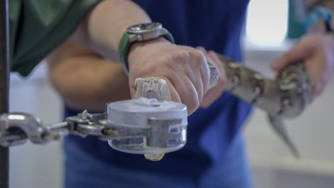 Snake venom extraction at CSRI.
