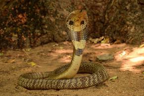 Spectacled Cobra (Photo by Ajay Kartik)