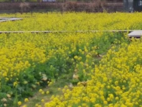 菜の花畑 もうすぐ満開
