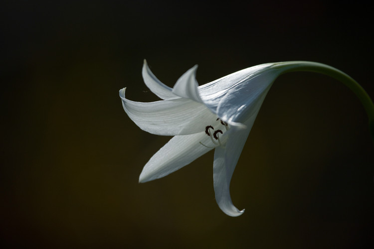 A Lone White Lily head isolated on a dar