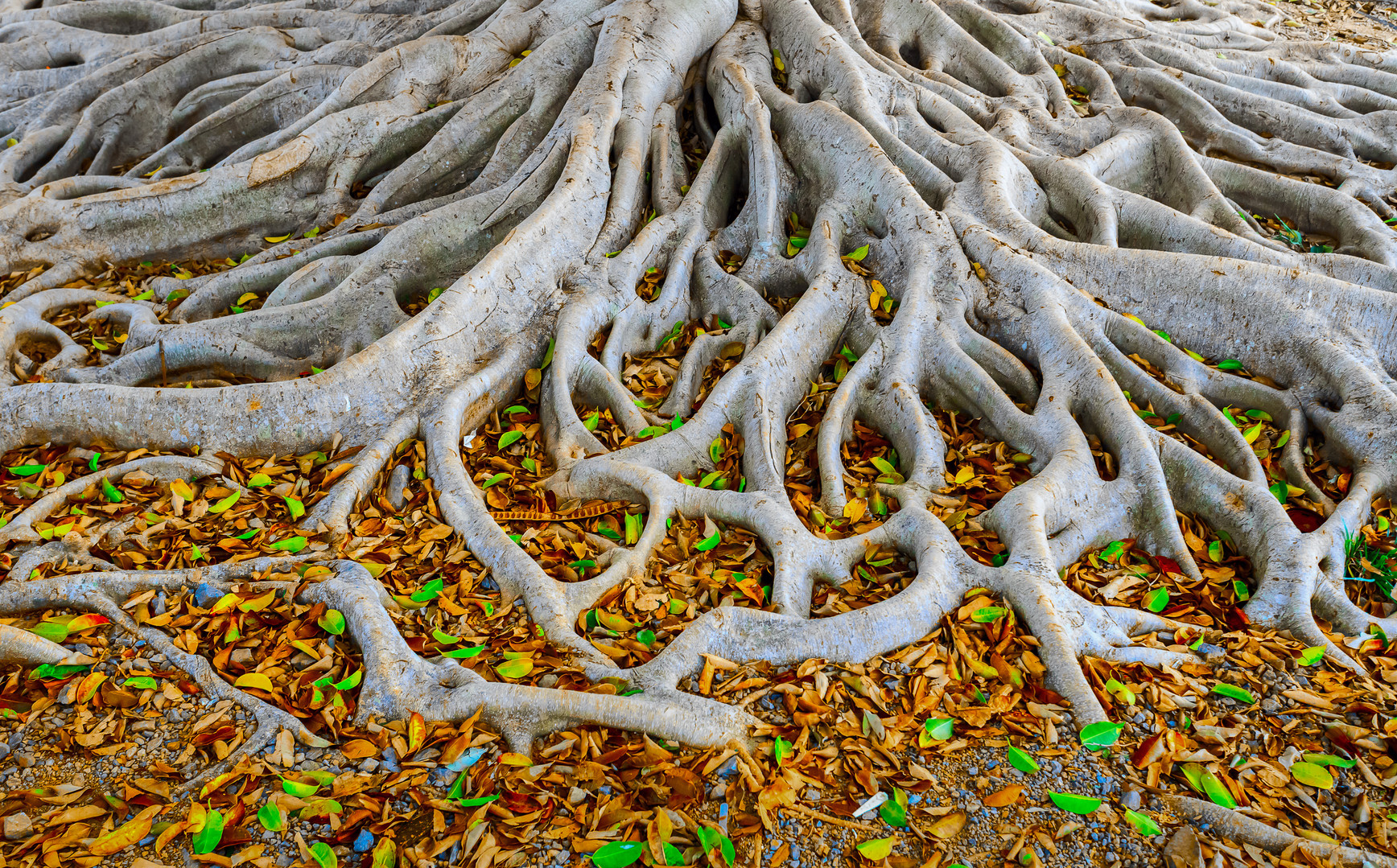 Strong roots of old tree with fresh gree