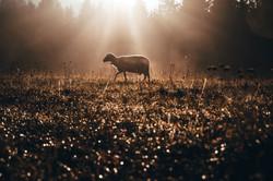 Lost sheep on autumn pasture