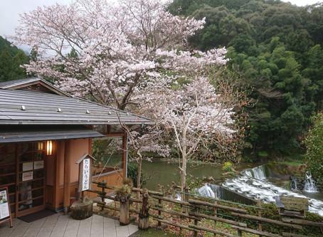 2020/03/27 小田地区桜開花情報