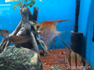 Maanvissen - pterophyllum scalare