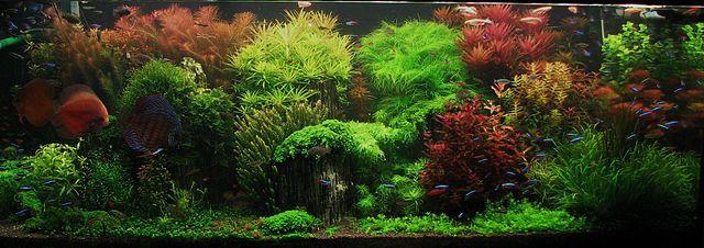 Op deze afbeelding zie je een aquarium ingericht in de Dutch stijl