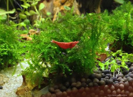 De vuurgarnaal of Neocardina heteropoda (sherry shrimp)