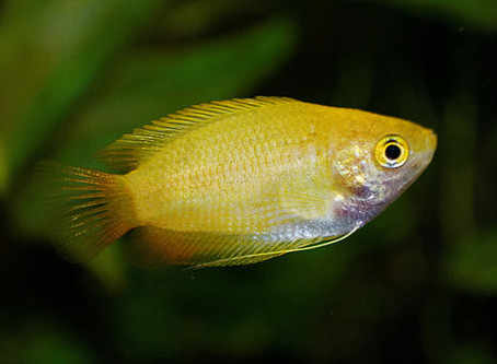 Trichogaster Chuna of Honinggoerami