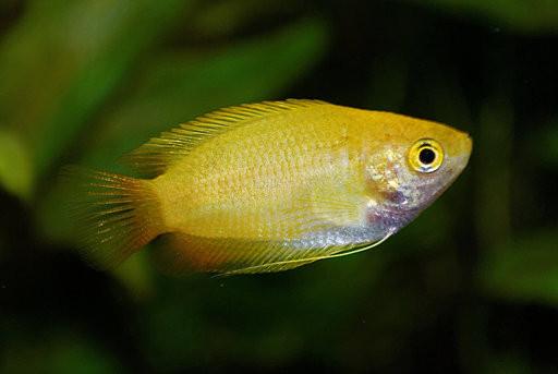 In deze afbeelding zie je een trichogaster chuna