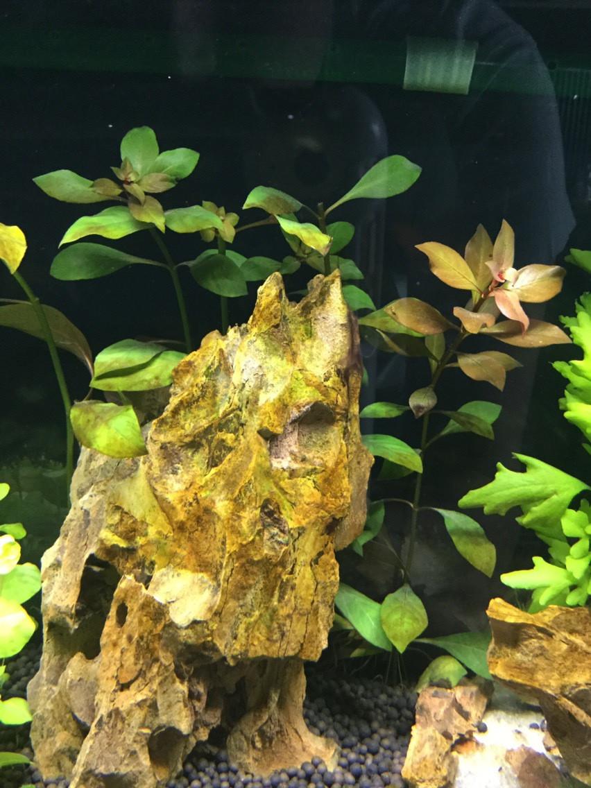 Op deze foto zie je de luwigia Mullertii