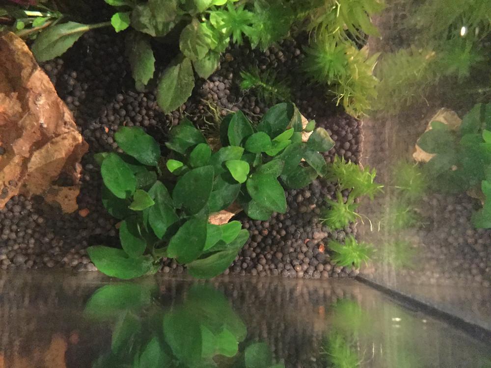 Op deze afbeelding is de Anubias nana mini te zien.