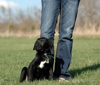 Labrador Retriever | Dog Training Pensacola FL