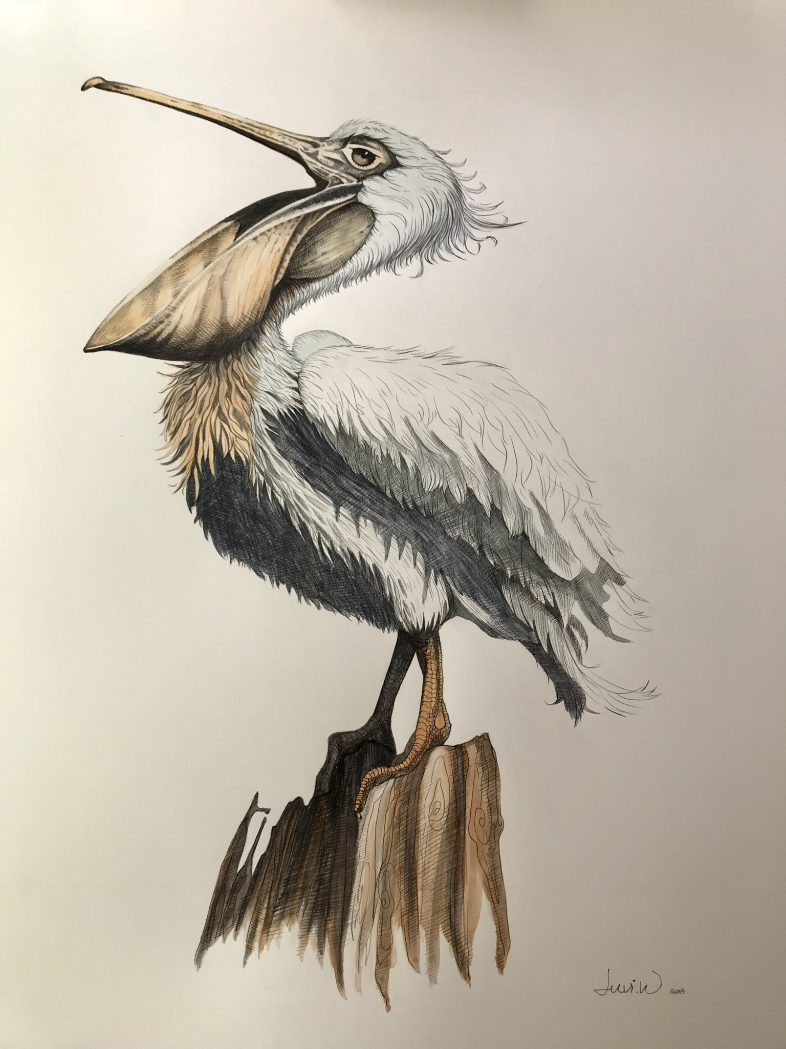 "Pelican 24"" x 36"" pencil & wc"