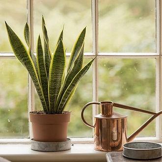 snake-plant2.jpg