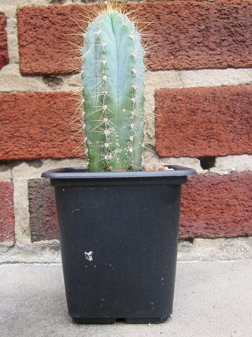 Blue Torch Cactus