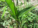 EcoPlanet Bamboo Bamboo Leaves