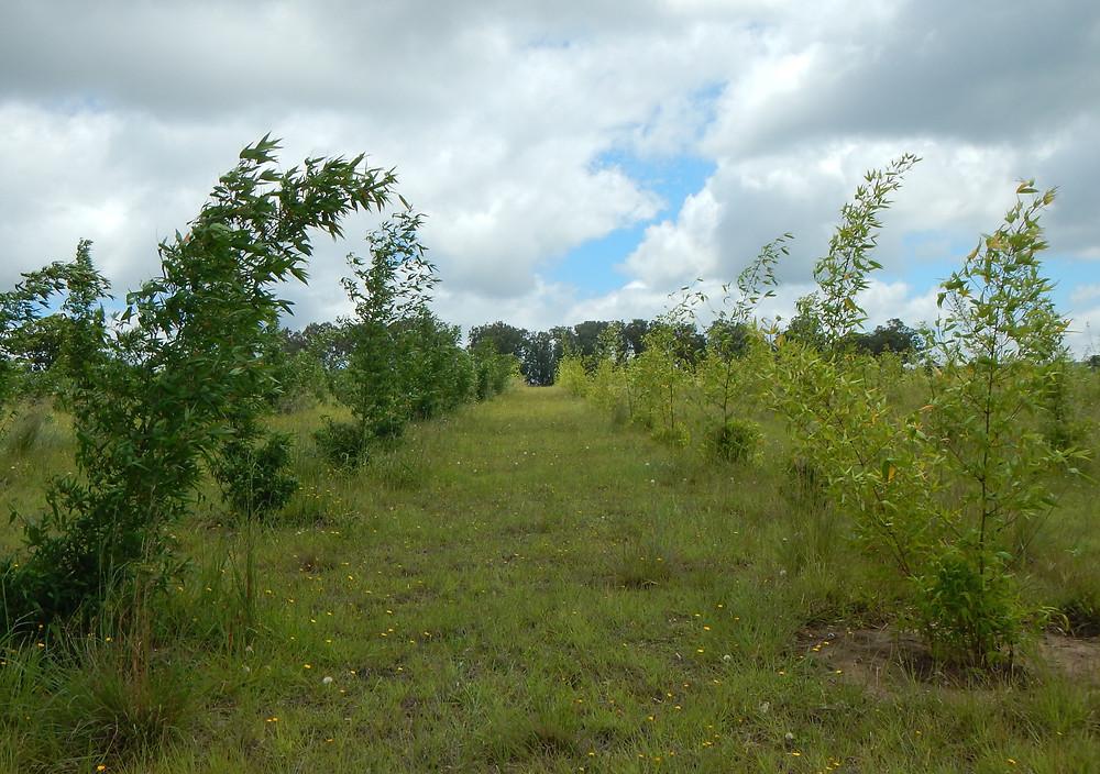Bamboo Plantation Fertilizer Trials