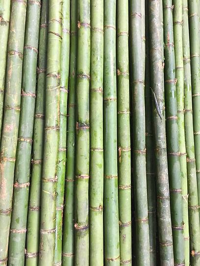 Dendrocalamus asper bamboo.jpg