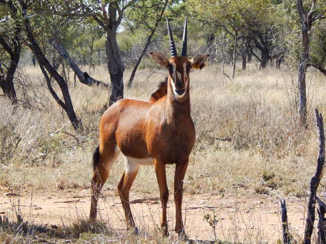 ZAMBIAN SABLE COWS