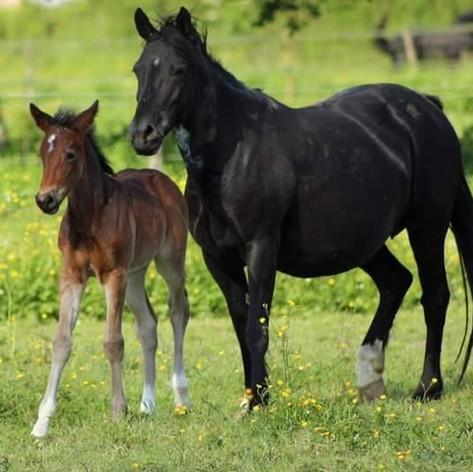 Foal Actif