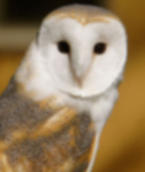 barn owl.jpg