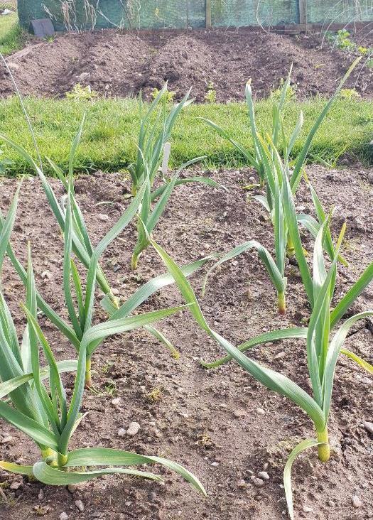 Autumn planted garlic
