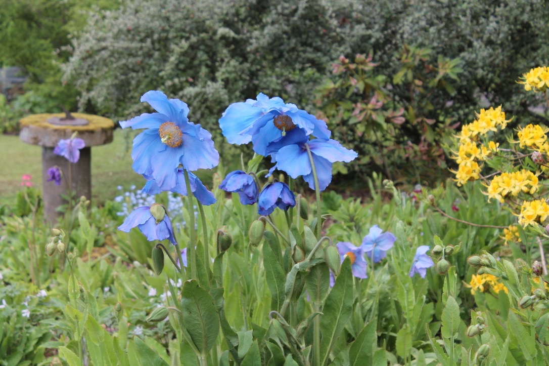 Spectacular dinner-plate sized meconopsis at Thorntree