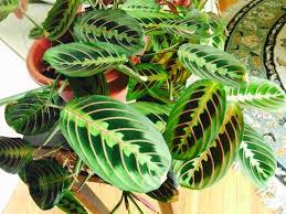 Maranta  ( Prayer Plant)