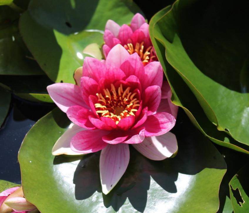 Water lily at Broadwoodside