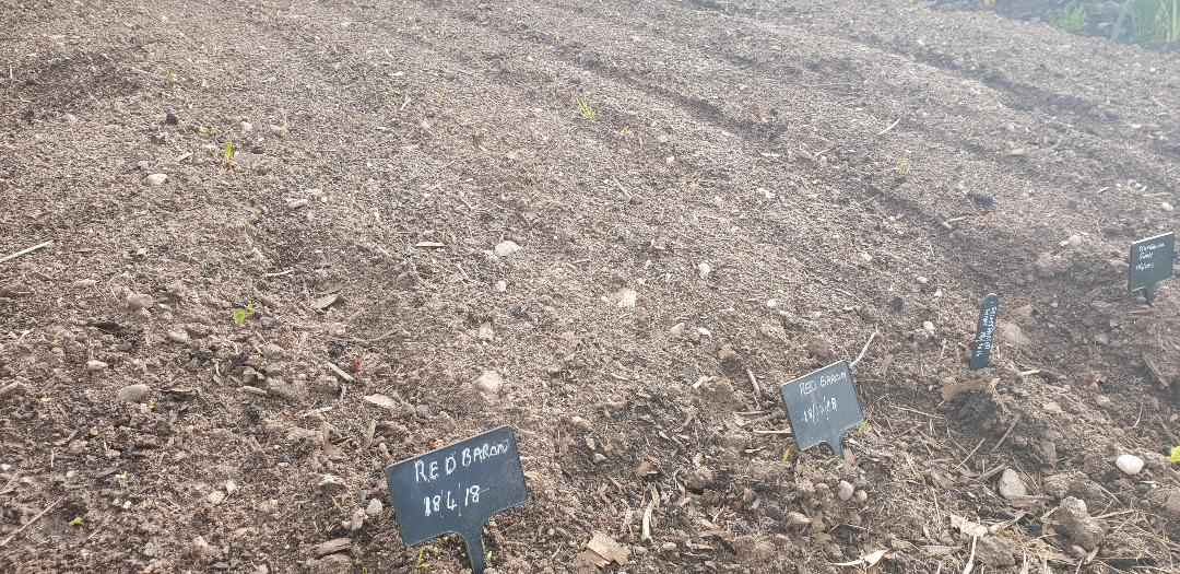 Onion sets planted
