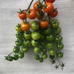 Winner - Tomatoes Class