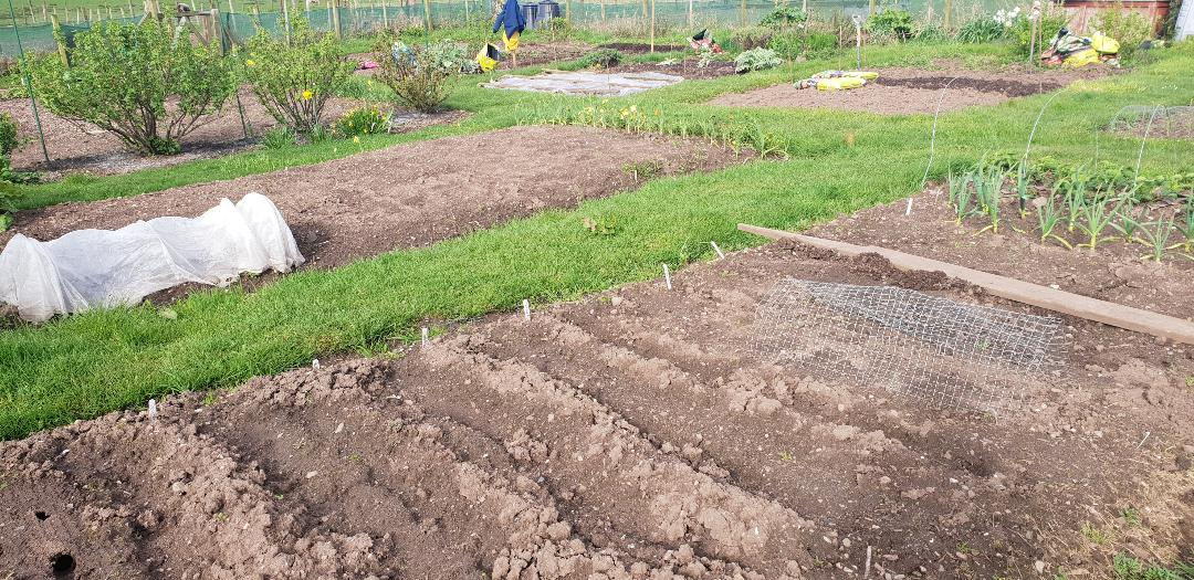 Preparing allotment in Spring