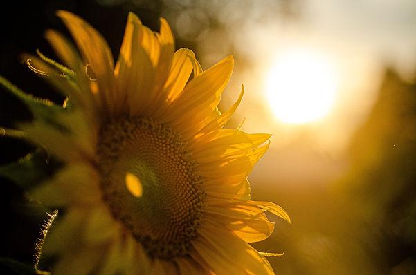 sunflower-5370278.jpg