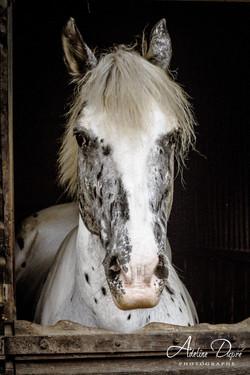 Adeline_Dupré_photographe_chevaux_yonne_auxerre-8996