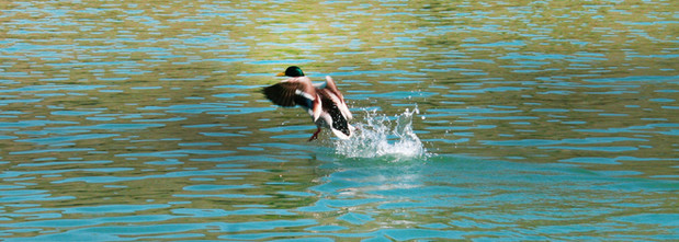 Mr. Mallard Takes Flight!