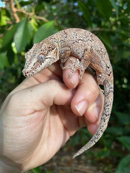 Pastel Retic Gargoyle gecko