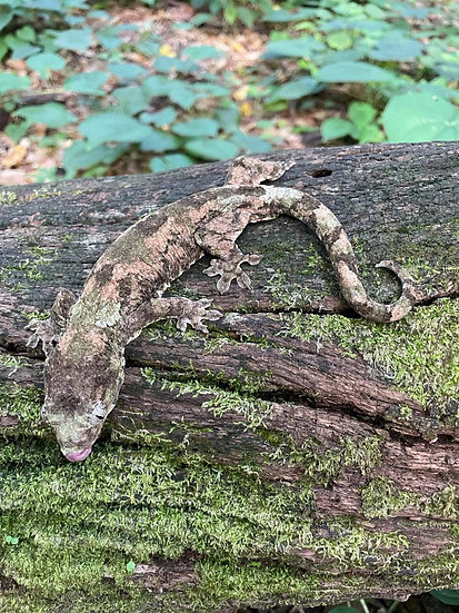 Pine Island Chahoua Female