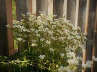 Moossteinbrechblüten am Holzzaun