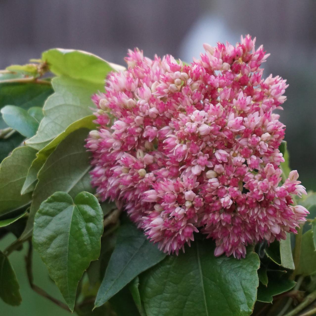 Fetthennenblüte