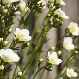 Moossteinbrechblüten