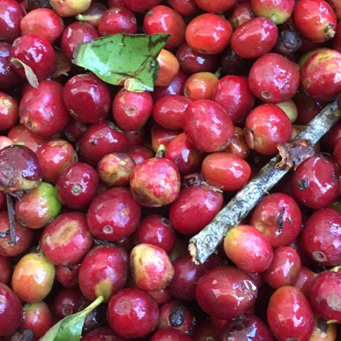 Coffee-Fruit-Plain-Image-1024x659.jpg