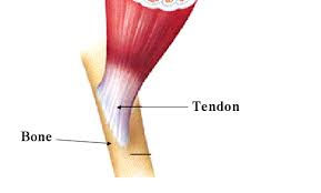 Tendon attached to bone