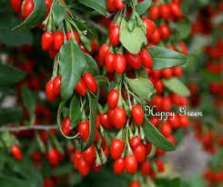 Wolfberry2.jpg