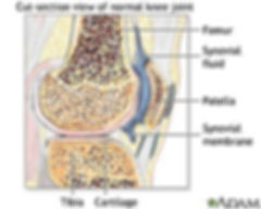 Cross section through the knee joint