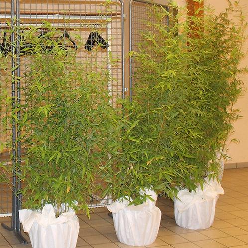 LOC007 - Bambou feuillu